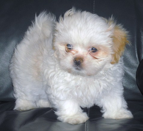 Peekapoo Pekingese Poodle Mix Information Temperament Puppies