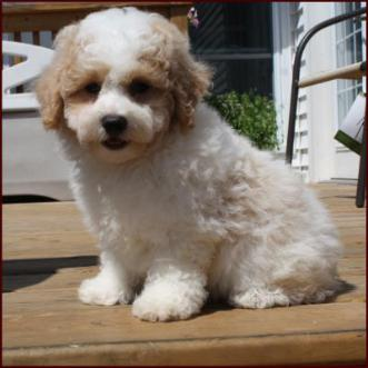 Daisy Dog Info, Temperament, Puppies, Training, Pictures