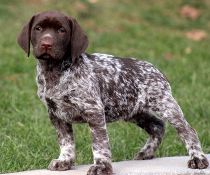 German Shorthaired Lab (German Shorthaired Pointer x Lab ...