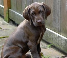 German Shorthaired Lab German Shorthaired Pointer X Lab Mix Info