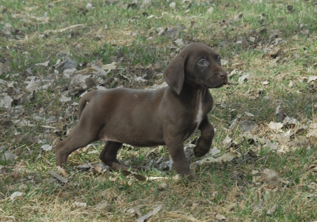 Dog Breed Info German Shorthaired Pointer