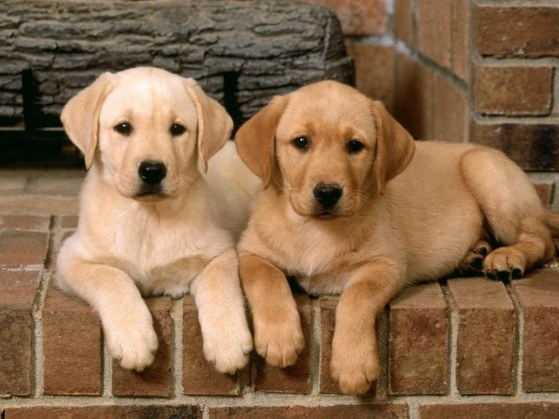 Golden Labrador Golden Retriever X Lab Info Temperament Puppies