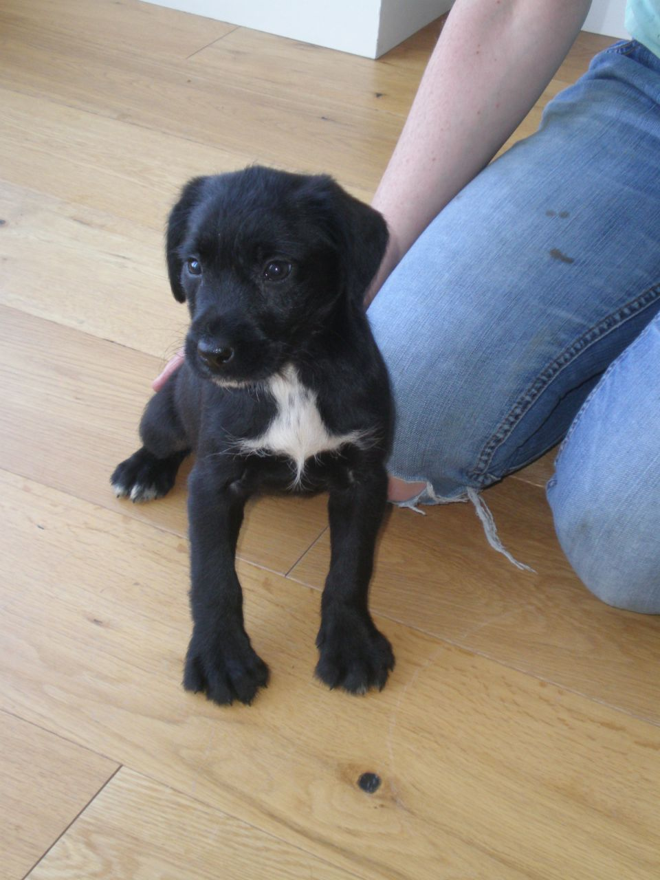 lab pointer mix puppies for sale