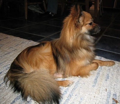 Mixed Breed Dogs Hypoallergenic Small