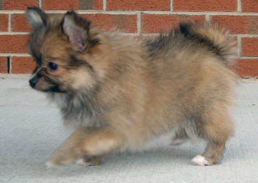 Paperanian (Papillon-Pomeranian Mix) Puppies Info, Care, Pictures