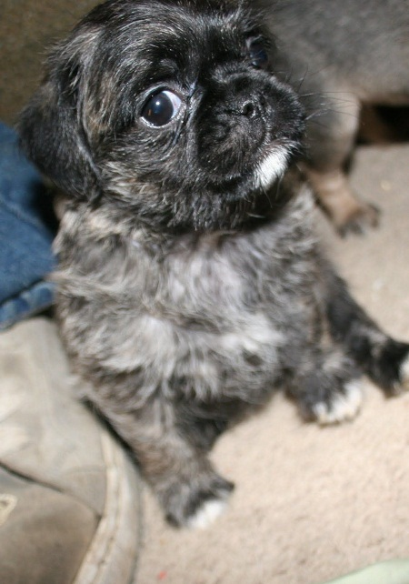 Pugapoo Pug Poodle Mix Info Temperament Puppies
