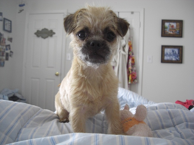 poodle pug mix pugapoo pug poodle mix info temperament puppies 1801
