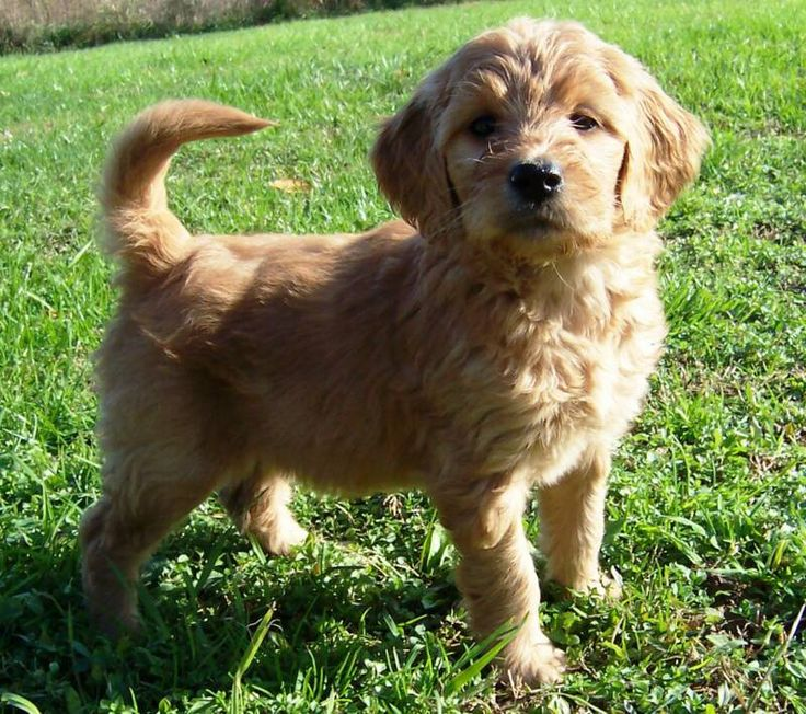 Toy Goldendoodle Pictures Black Puppy