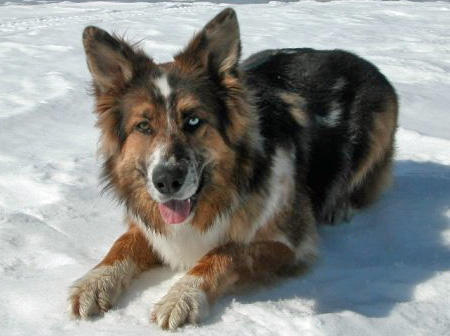 German Australian Shepherd Info, Temperament, Care ...