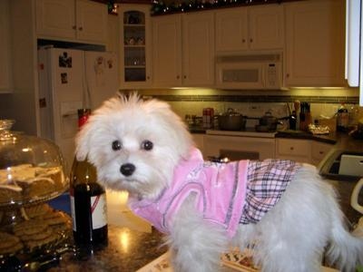 Havamalt (Maltese-Havanese Mix) Info, Care, Puppies and ...