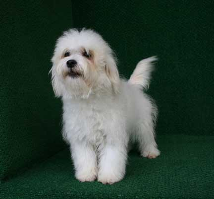 Images of Havanese Maltese Terrier - #rock-cafe