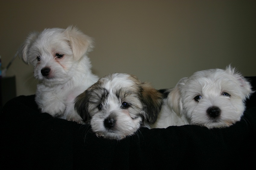 maltese havanese havamalt maltese havanese mix info care puppies and 3411