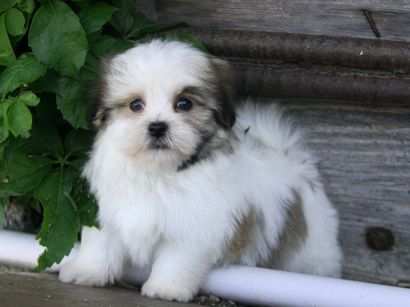 maltese havanese havamalt maltese havanese mix info care puppies and 7396