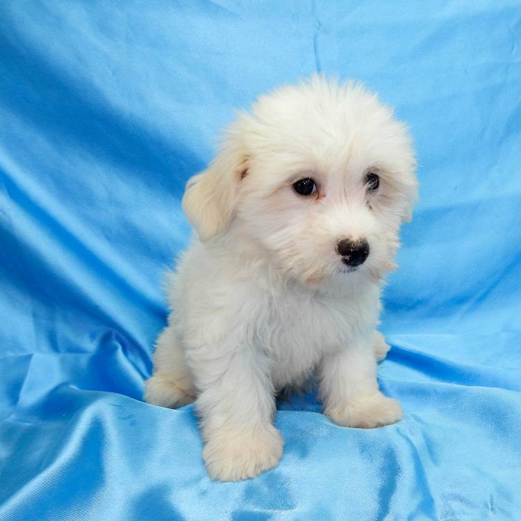 maltese havanese havamalt maltese havanese mix info care puppies and 6790