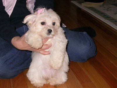 maltese havanese havamalt maltese havanese mix info care puppies and 5885