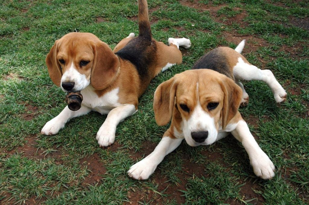 Bagle Hound Basset Hound Beagle Mix Info Facts Temperament Training Puppies Pictures