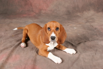 bagle hound basset hound beagle mix info facts