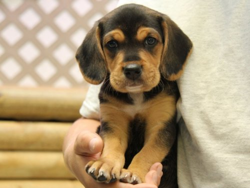 Beagador Beagle Labrador Mix Info Temperament Puppies