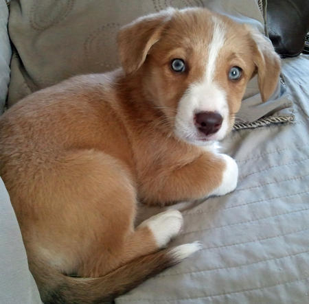 Beagi (Corgi-Beagle Mix) Info, Temperament, Puppies ...