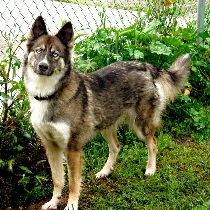 Image result for picture of husky/shepherd mix