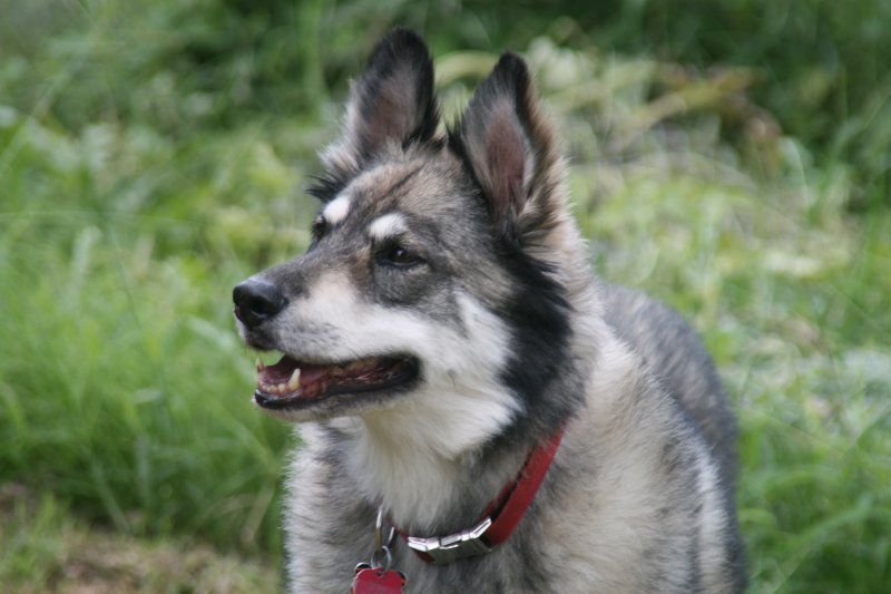husky mixed with a german shepherd gerberian shepsky german shepherd siberian husky mix 7103
