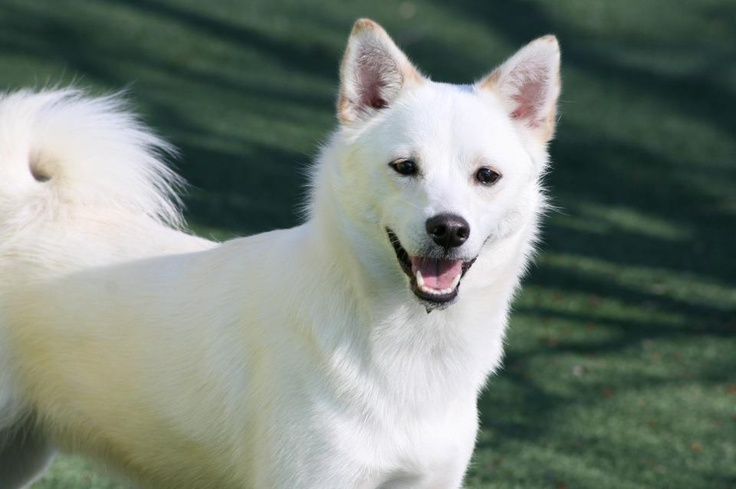Shiba Inu Breed Information History Health Pictures