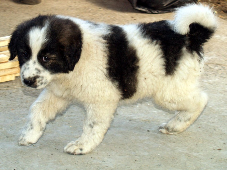 Karakachan Bulgarian Shepherd Info Temperament Puppies