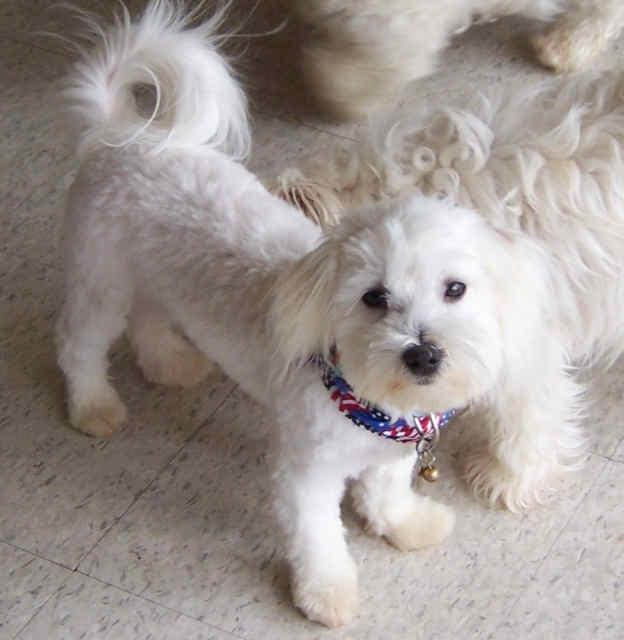 bichon frise maltese mix maltese bichon mix for sale goldenacresdogs com 2315