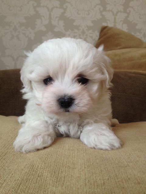 bichon frise maltese mix maltichon info temperament training puppies pictures 2440