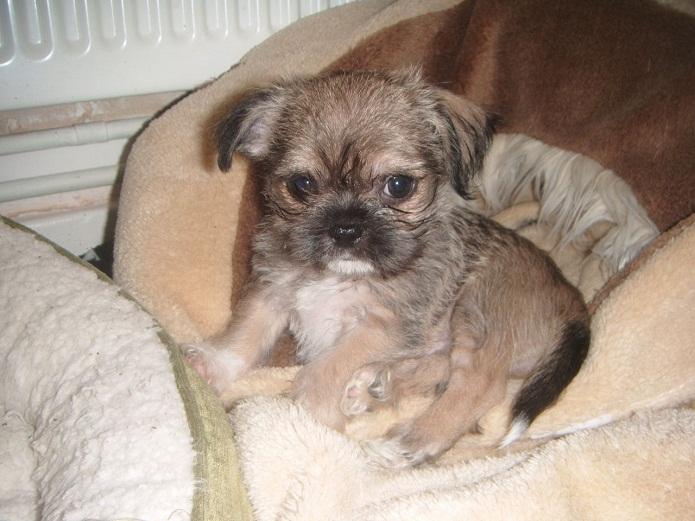 Shichi Dog (Shih Tzu-Chihuahua) Info, Temperament ...