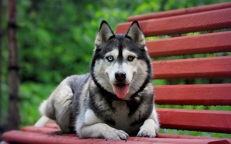 husky mixed with a german shepherd gerberian shepsky german shepherd siberian husky mix 212