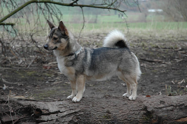 Can Wolf And Dogs Breed