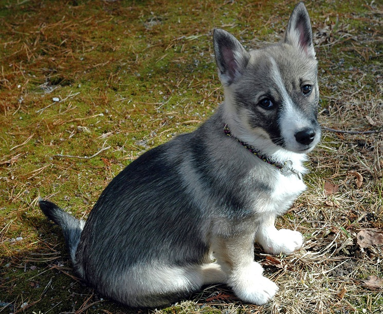 swedish vallhund info temperament care puppies pictures