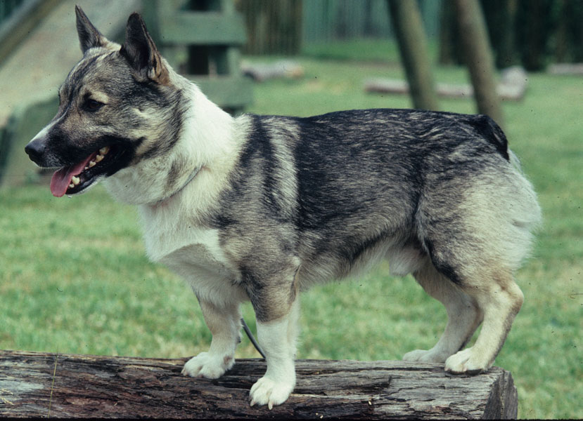 Dog Breed With Reddish Brown Coat