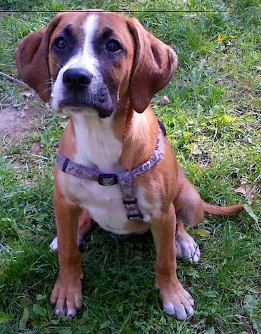 Bogle Dog Boxer Beagle Mix Info Temperament Puppies Pictures