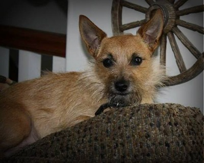 chihuahua and terrier mix toxirn cairn terrier chihuahua mix info puppies pictures 4316