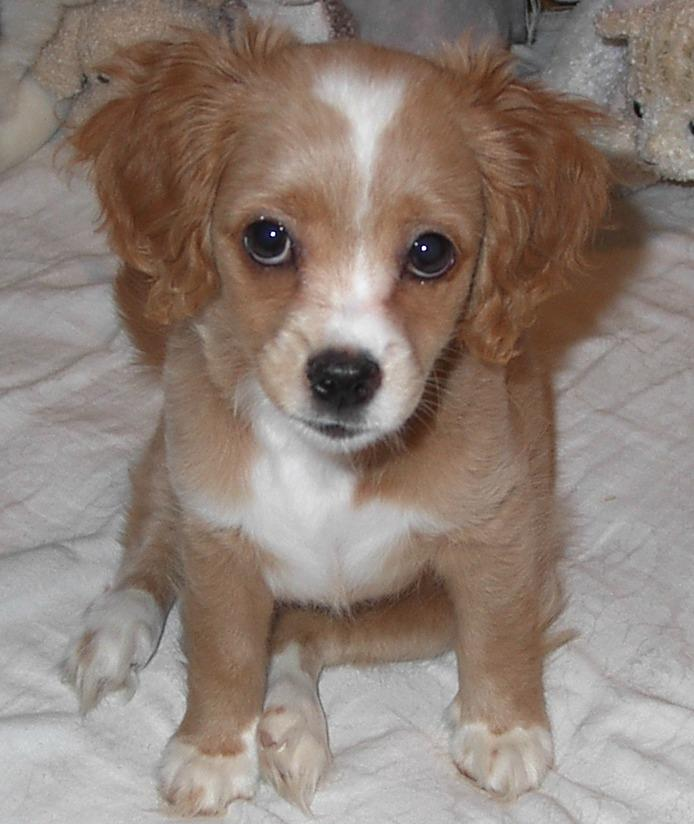 cocker spaniel and chihuahua mix