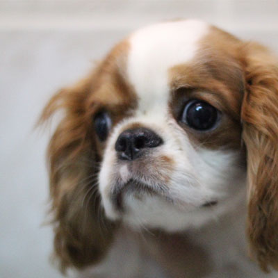 chispaniel cocker spaniel chihuahua mix temperament