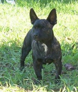 French Bullhuahua French Bulldog Chihuahua Mix Info Puppies Pictures