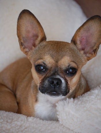 english bulldog chihuahua mix french bullhuahua french bulldog chihuahua mix info 2551