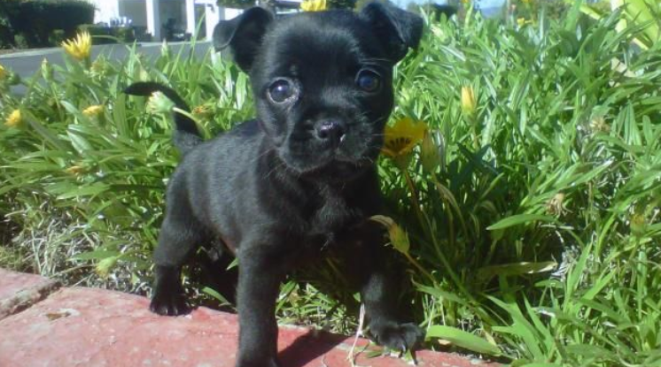 French Bullhuahua French Bulldog Chihuahua Mix Info