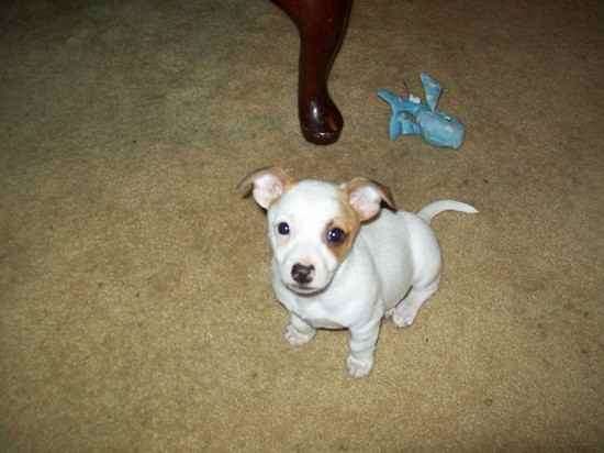 bull terrier chihuahua mix chipit chihuahua american pit bull terrier mix info and 1008