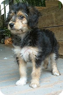Sheltie Poodle Mix Puppies