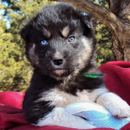 Siberian Husky Puppy Mix