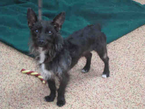 Toxirn (Cairn Terrier-Chihuahua Mix) Info, Puppies, Pictures