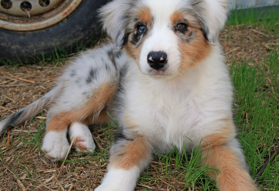 Do Australian Shepherds Make Good Hunting Dogs