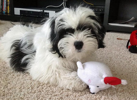 Bea Tzu Beagle Shih Tzu Mix Info Temperament Training Puppies
