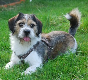 Bea Tzu Beagle Shih Tzu Mix Info Temperament Training