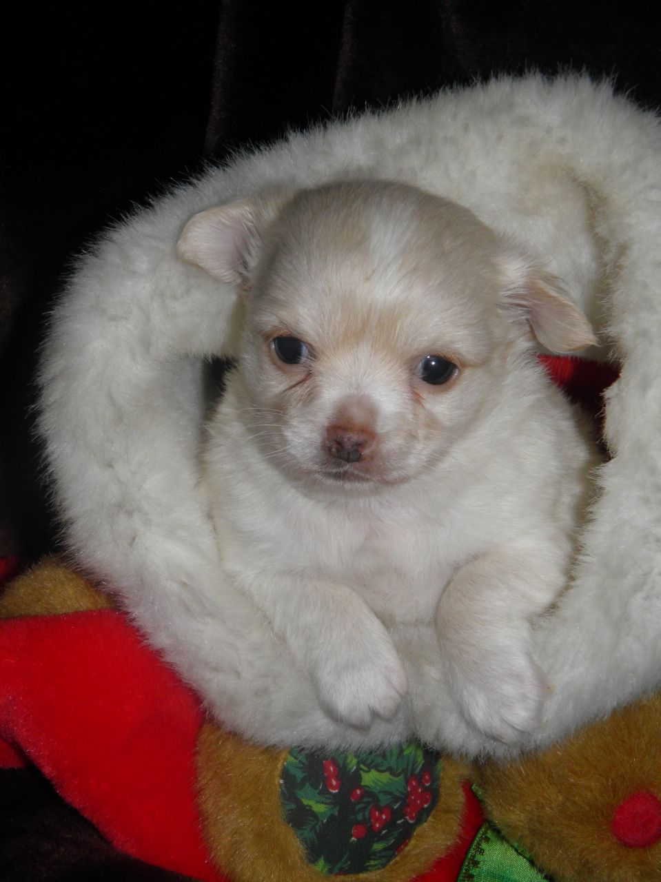 Chi Chon Bichon Frise Chihuahua Mix Info Care Puppies Pictures