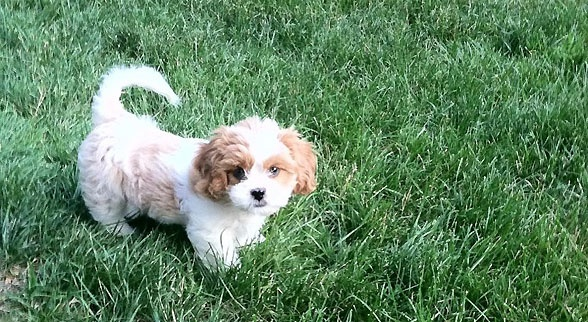 Small Dogs For Sale Alberta